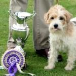 Norfolk Terrier 1080p