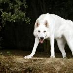 Northern Inuit Dog free