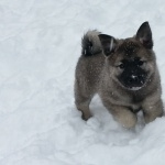 Norwegian Elkhound hd wallpaper