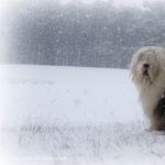 Old English Sheepdog free download