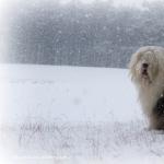 Old English Sheepdog free download