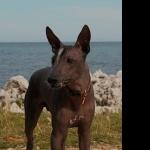 Peruvian Hairless Dog hd