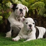 American Bulldog widescreen