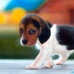 American Foxhound download wallpaper