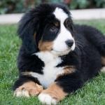 Bernese Mountain Dog 1080p