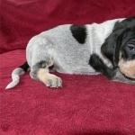 Bluetick Coonhound photo