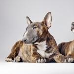 Bull Terrier hd desktop
