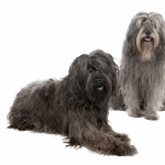 Catalan Sheepdog breed