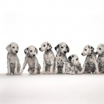 Dalmatian new wallpapers