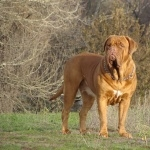 Dogue de Bordeaux 2016