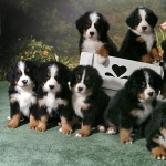 Entlebucher Mountain Dog cute