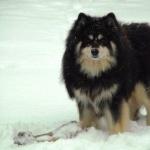 Finnish Lapphund free