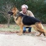 German Shepherd Dog high definition photo
