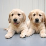 Golden Retriever widescreen