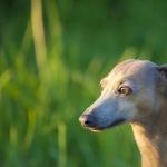 Italian Greyhound high definition photo