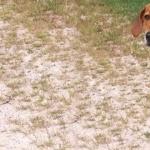 Kerry Beagle desktop wallpaper