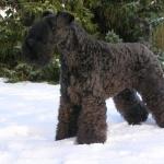 Kerry Blue Terrier photos