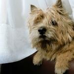 Norwich Terrier free