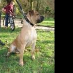 Perro de Presa Canario 1080p