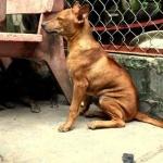 Phu Quoc ridgeback dog image