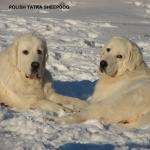 Polish Tatra Sheepdog pics