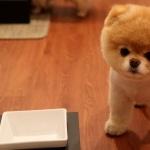 Pomeranian images