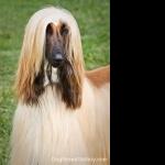 Afghan Hound full hd