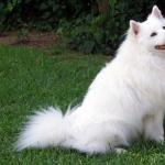 American Eskimo Dog hd pics