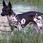 American Hairless Terrier photo