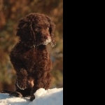 American Water Spaniel free