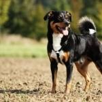 Appenzeller Sennenhund 2016