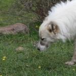Armenian Gampr dog funny