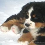 Bernese Mountain Dog pic