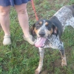 Bluetick Coonhound new wallpaper