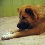 Central Asian Shepherd Dog image
