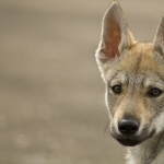 Czechoslovak Wolfdog high quality wallpapers