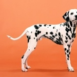 Dalmatian background
