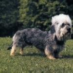Dandie Dinmont Terrier 1080p