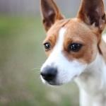 Decker Rat Terrier hd photos