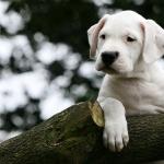 Dogo Argentino hd desktop