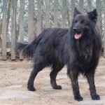 Dutch Shepherd Dog photos