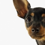 English Toy Terrier widescreen