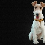 Fox Terrier desktop wallpaper
