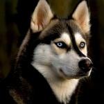 Husky wallpapers hd