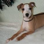Italian Greyhound hd pics