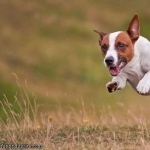 Jack Russell Terrier new wallpaper