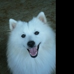 Japanese Spitz widescreen