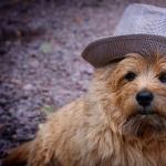 Norwich Terrier widescreen