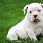 Olde English Bulldogge new photos