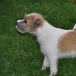 Parson Russell Terrier widescreen